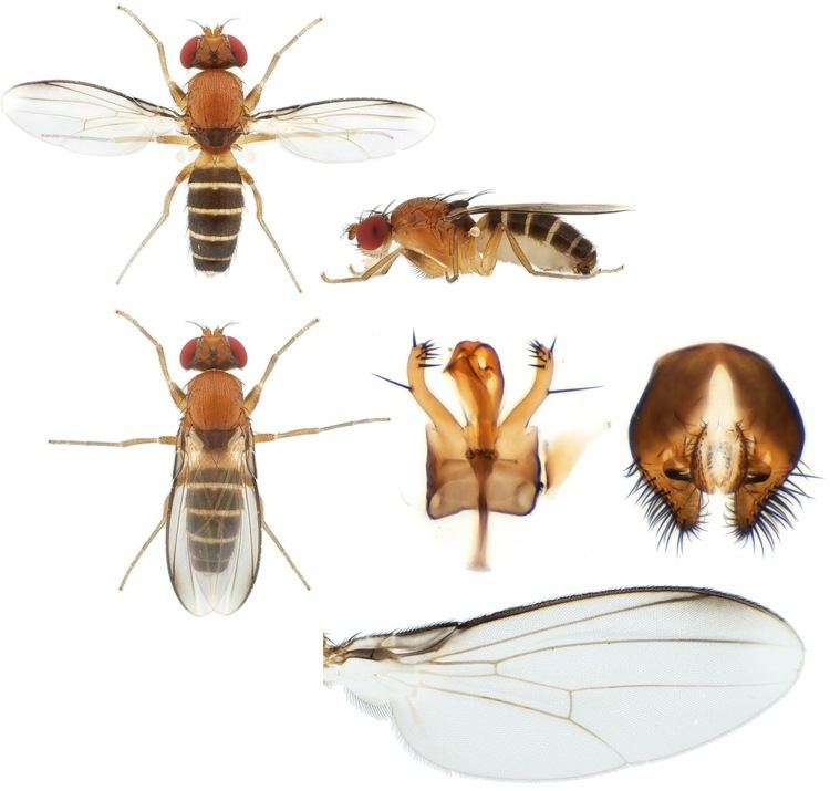 Drosophilidae Drosophilidae plates Nicolas Gompel39s lab