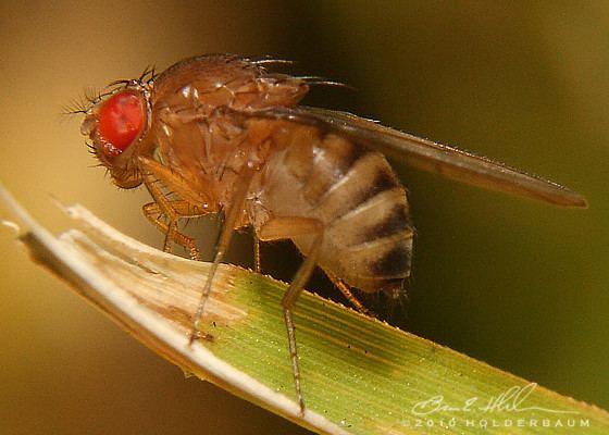 Drosophilidae Vinegar Flies Drosophilidae Drosophila immigrans BugGuideNet