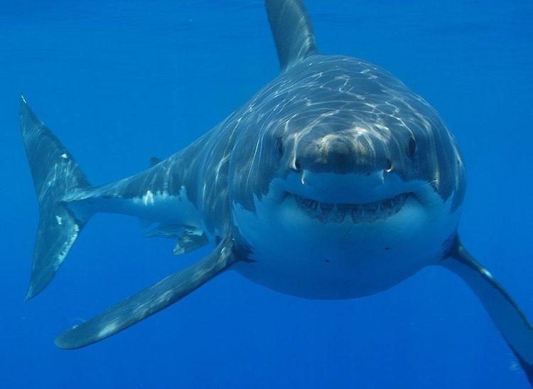 Drum line (shark control)