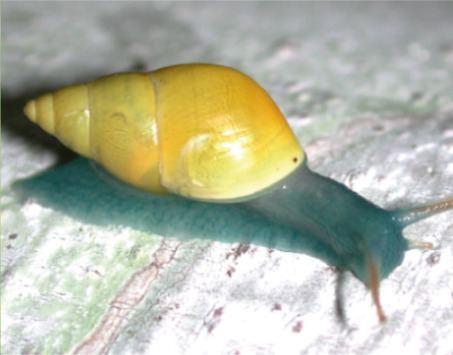 Drymaeus Drymaeus laticinctus Wikipedia