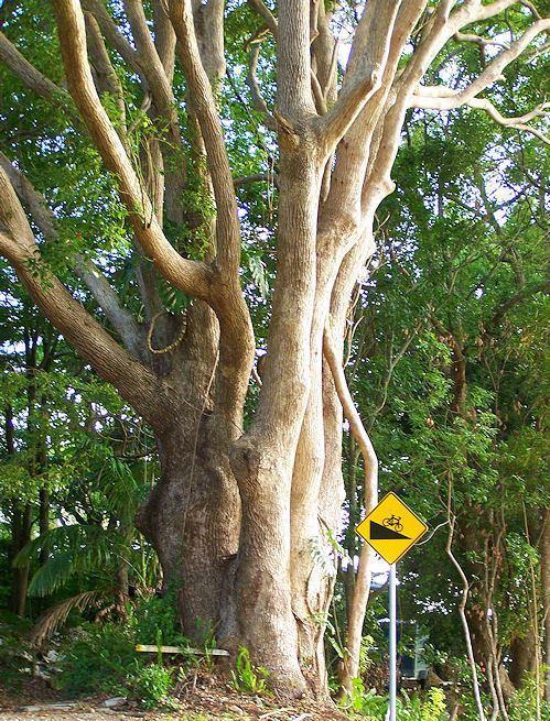 Dryobalanops Borneo Camphorwood Dryobalanops aromatica Gaertn