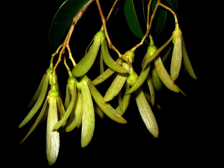 Dryobalanops Dryobalanops beccarii The 5winged fruits of Dryobalanops Flickr