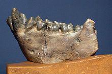 Dryopithecini httpsuploadwikimediaorgwikipediacommonsthu