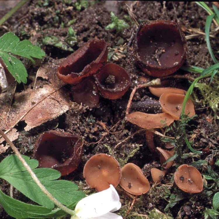 Dumontinia All Fungi Fungi of Great Britain and Ireland