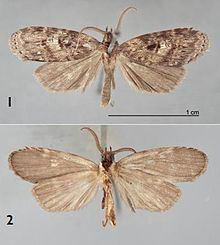 Dunama angulinea httpsuploadwikimediaorgwikipediacommonsthu