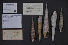 Duplicaria duplicata httpsuploadwikimediaorgwikipediacommonsthu