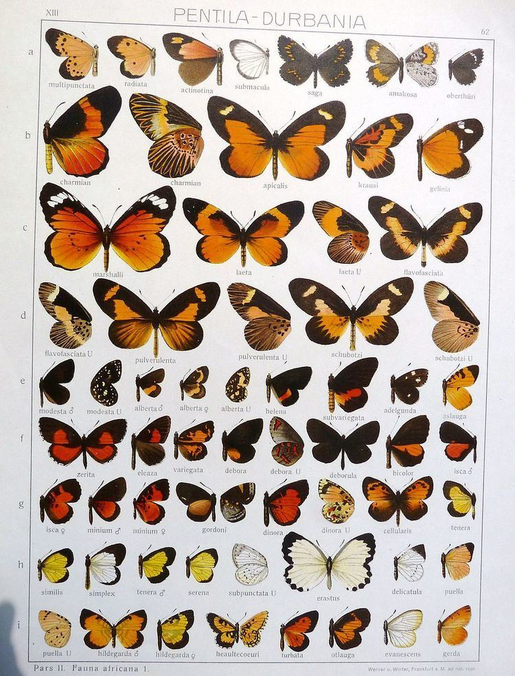 Durbaniopsis saga