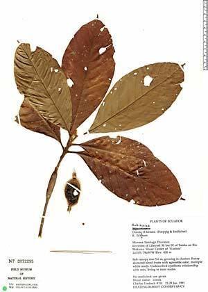 Duroia hirsuta Neotropical Herbarium Specimens