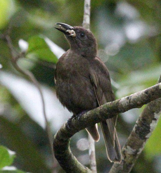 Dusky-brown oriole orientalbirdimagesorgimagesdata37oriolusphae