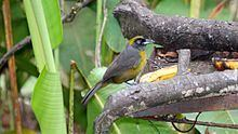 Dusky-faced tanager httpsuploadwikimediaorgwikipediacommonsthu