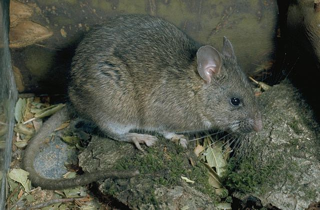 Dusky-footed woodrat Neotoma fuscipes Duskyfooted Woodrat Discover Life mobile