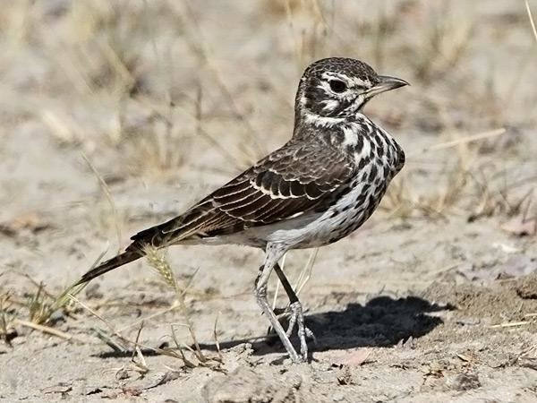 Dusky lark Dusky Lark Pinarocorys nigricans videos photos and sound