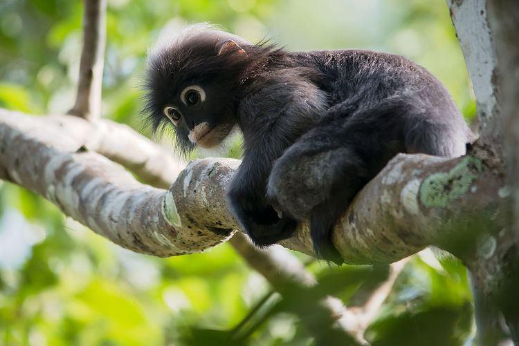 Dusky leaf monkey Dusky leaf monkey Wikipedia