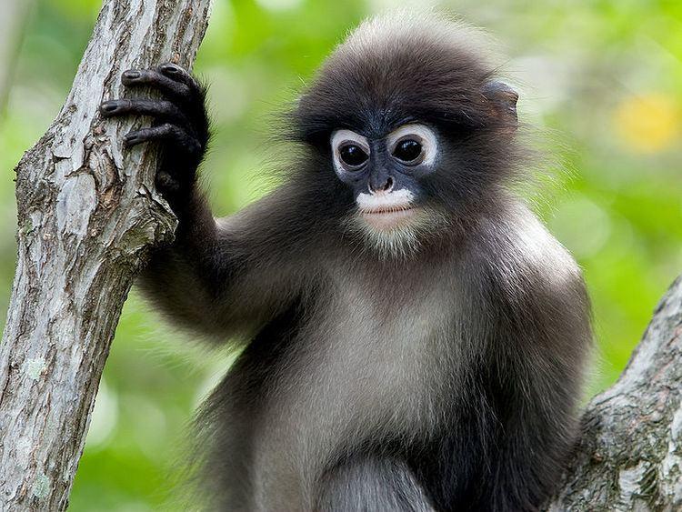 Dusky leaf monkey Dusky Leaf Monkey