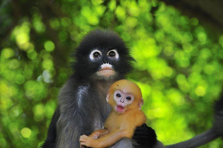 Dusky leaf monkey Dusky Leaf Monkey And Baby Coats It is and Infants