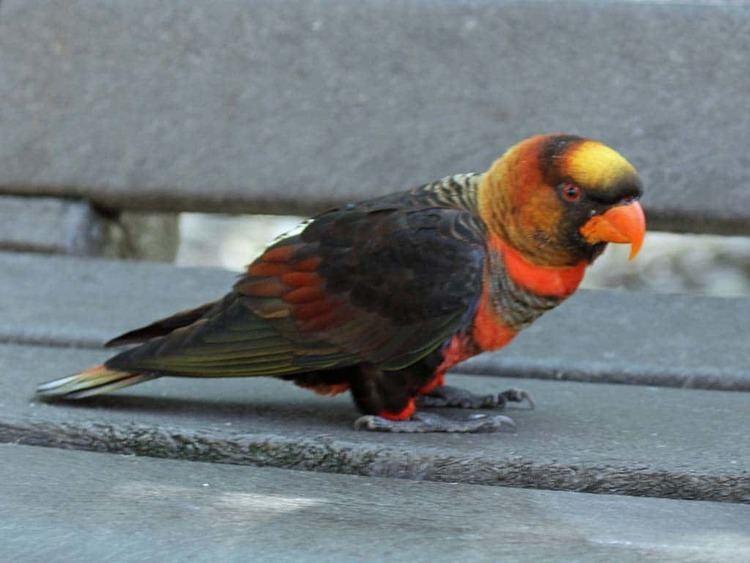 Dusky lory Dusky Lory Pseudeos fuscata Exotic birds Pets