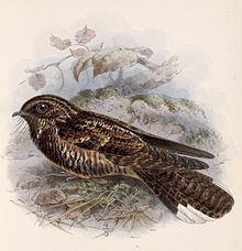 Dusky nightjar httpsuploadwikimediaorgwikipediacommonsthu