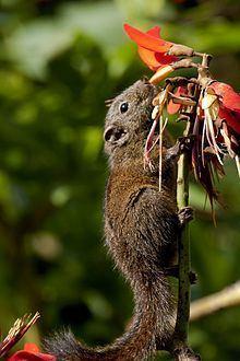 Dusky palm squirrel httpsuploadwikimediaorgwikipediacommonsthu