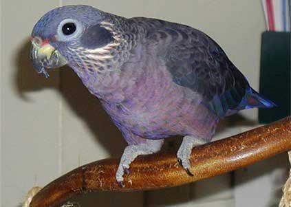 Dusky parrot Dusky Parrot or Dusky Pionus Pretty Parrots Pinterest Parrots