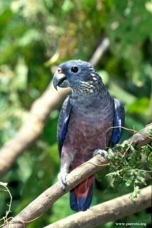 Dusky parrot httpswwwparrotsorgimagesencyclopedia1409w