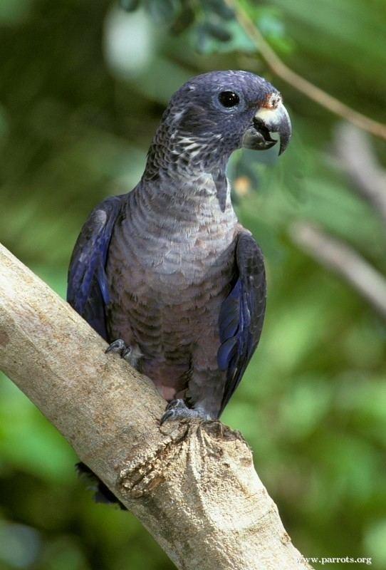 Dusky parrot Dusky Parrot World Parrot Trust