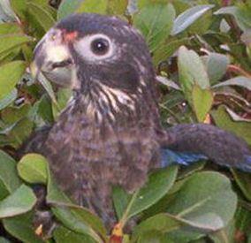 Dusky parrot Dusky Pionus Dusky Parrot Pionus fuscus