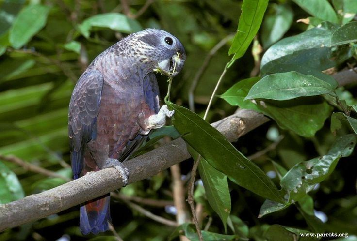 Dusky parrot Dusky Pionus Birds and others Pinterest Parrots
