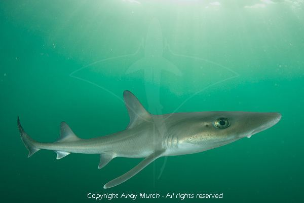 Dusky smooth-hound Dusky smoothhound shark information and pictures of smooth dogfish