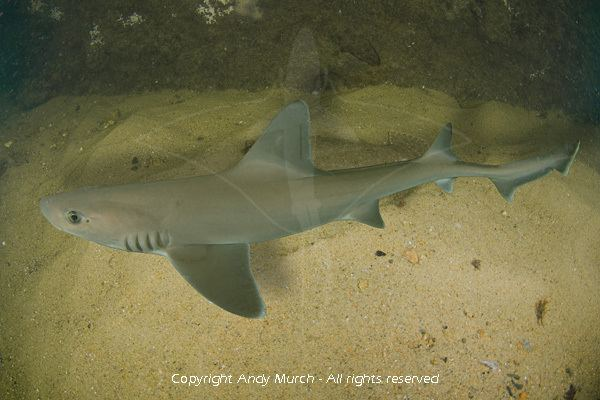 Dusky smooth-hound Smooth Dogfish Pictures Images of Dusky Smoothhounds