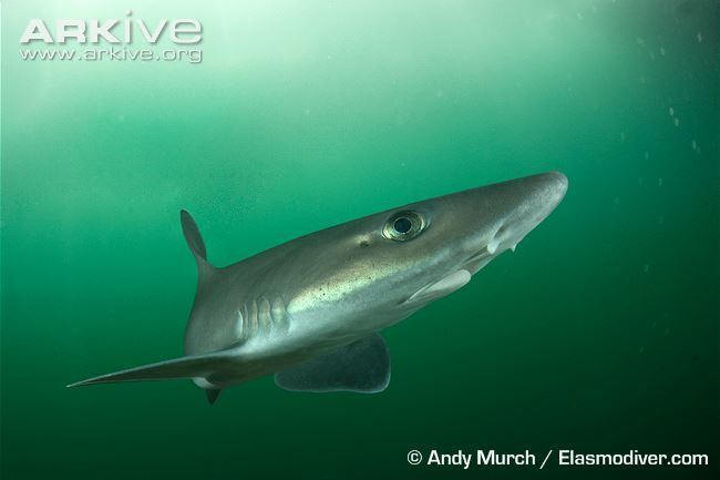 Dusky smooth-hound Dusky smoothhound videos photos and facts Mustelus canis ARKive