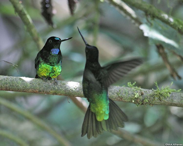Dusky starfrontlet antpittacom Photo Gallery Hummmingbirds IV
