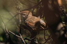 Dusky-tailed canastero httpsuploadwikimediaorgwikipediacommonsthu