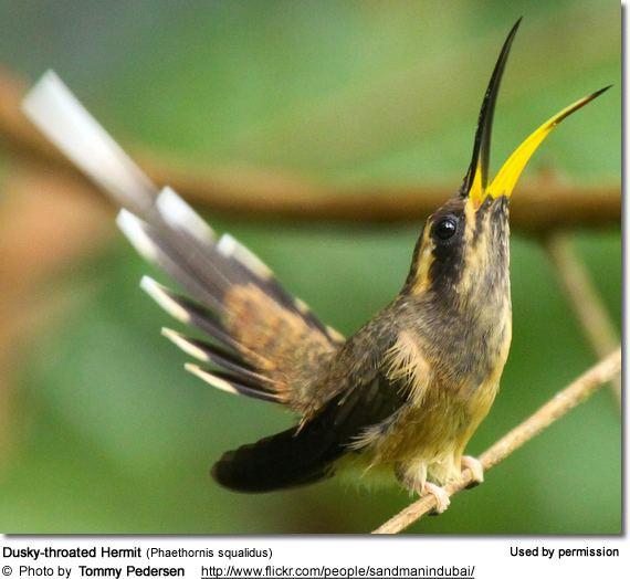 Dusky-throated hermit Hummingbirds on Pinterest