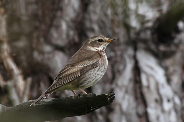 Dusky thrush Dusky Thrush ruminations Birding Frontiers