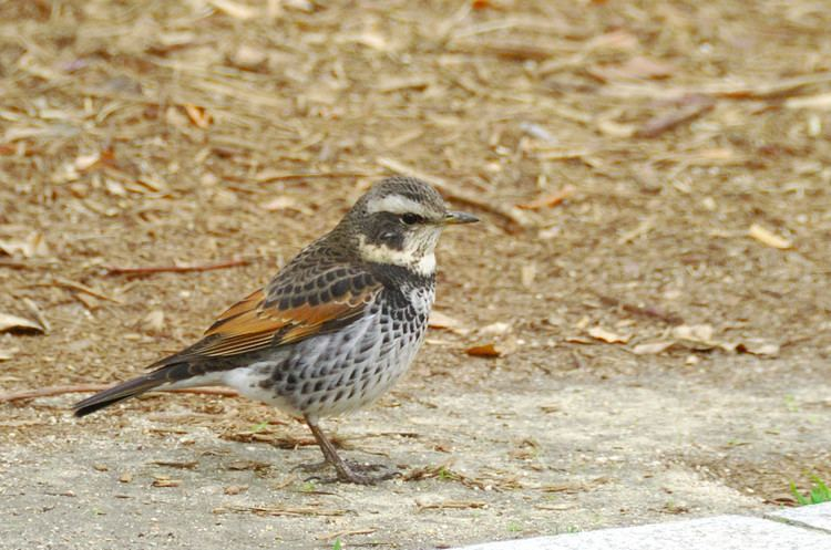 Dusky thrush FileDusky Thrush at Hiroshima Peace Parkjpg Wikimedia Commons