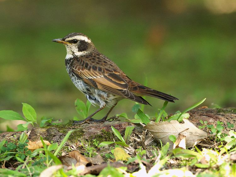 Dusky thrush FileDusky Thrush 9026jpg Wikimedia Commons
