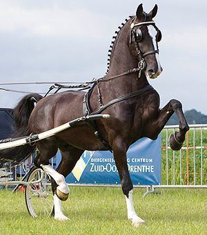 Dutch Harness Horse 1000 images about Dutch Harness Horses KWPN approved KWPN NA