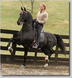 Dutch Harness Horse wwwwindholmefarmcomhorseshoralridingjpg