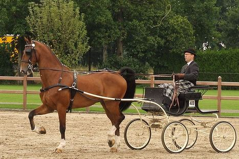 Dutch Harness Horse Dutch Harness Horse Wikipedia