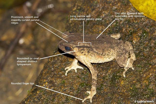 Duttaphrynus kotagamai Lanka Nature Summary Kotagama39s toad Duttaphrynus kotagamai