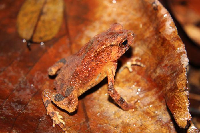 Duttaphrynus kotagamai CalPhotos Duttaphrynus kotagamai Kotagama39s Toad