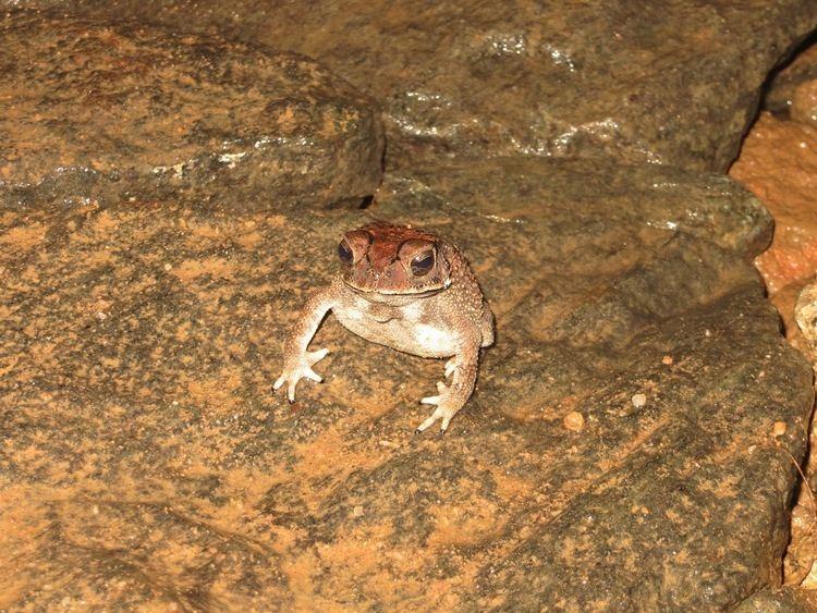 Duttaphrynus kotagamai photoswonder Endemic frog of sri lanka bufo kotagamai