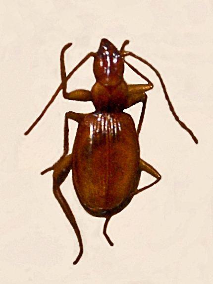Duvalius doriae