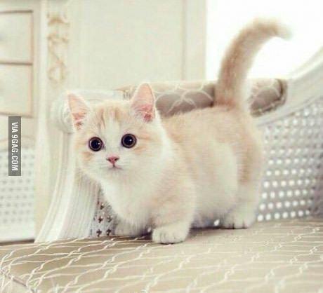 Dwarf cat httpssmediacacheak0pinimgcom736x3c90c2