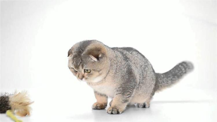 Dwarf cat Odri dwarf cat YouTube