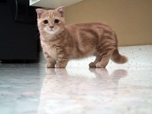 Dwarf cat Dwarf cat Cats Pinterest Cats Dwarf cat and So cute