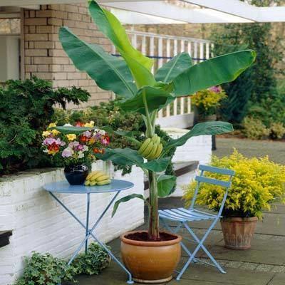 Dwarf Cavendish banana Dwarf Cavendish Banana for Sale Brighter Blooms Nursery