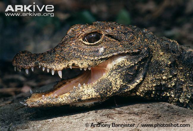 Dwarf crocodile Dwarf crocodile videos photos and facts Osteolaemus tetraspis