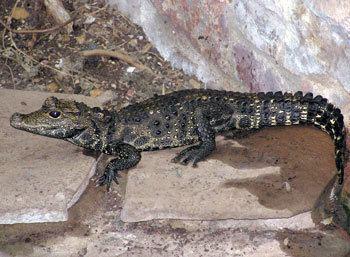 Dwarf crocodile Dwarf Crocodile The Animal Files