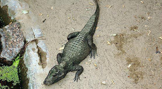 Dwarf crocodile Dwarf Crocodile an Endangered Species